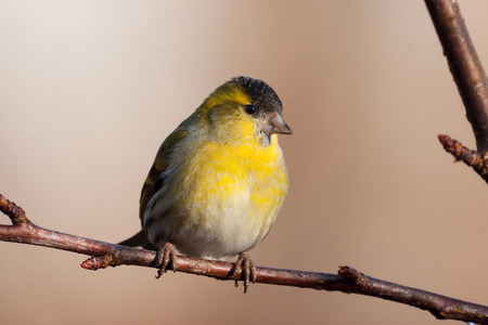 eurasian: eurasian siskin Stock Photo