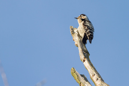 spotted: lesser spotted woodpecker Stock Photo