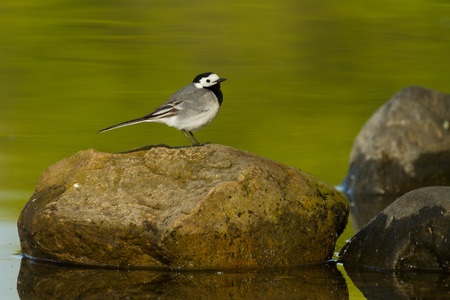 white wagtail: white wagtail