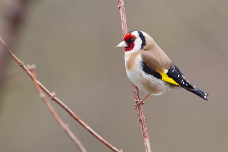 goldfinch: goldfinch Stock Photo