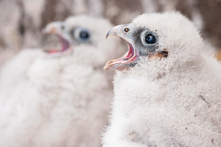 peregrine: young peregrine Stock Photo