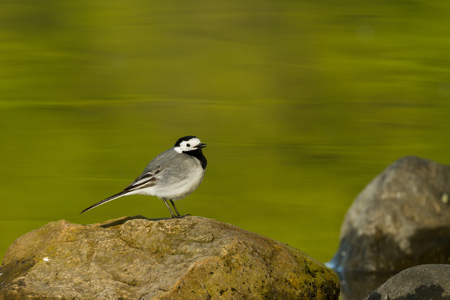 wagtail: white wagtail