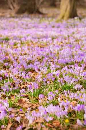 crocuses: crocuses and winter aconites on a meadow