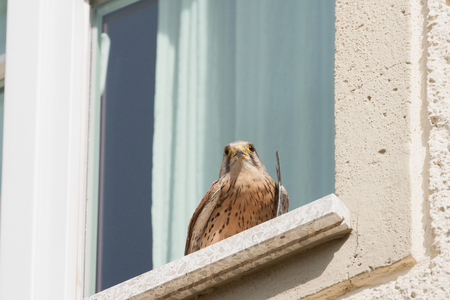 swift: kestrel with a catched common swift