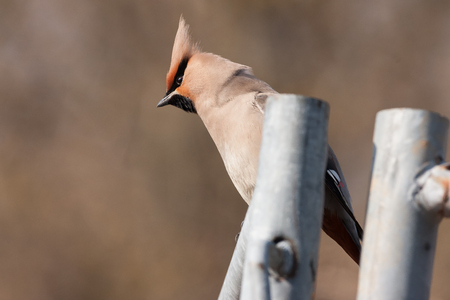 bohemian: bohemian waxwing Stock Photo
