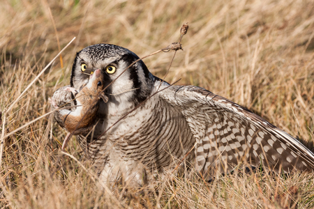 white necked: northern hawk owl (Surnia ulula) with a hunted mouse Stock Photo