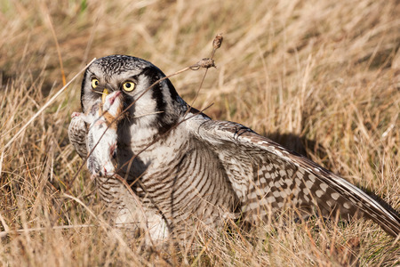 hunted: northern hawk owl (Surnia ulula) with a hunted mouse Stock Photo