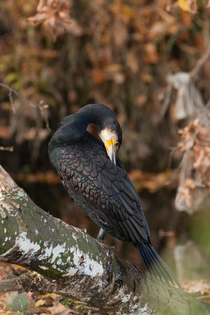 carbo: cormorant (Phalacrocorax carbo) Stock Photo