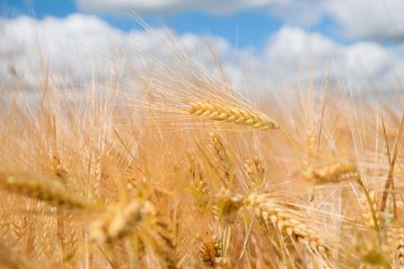 cornfield: cornfield