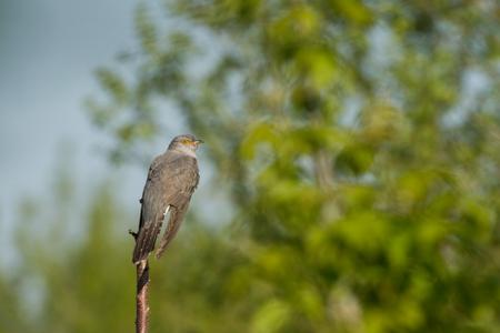 canorus: common cuckoo