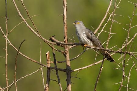 cuckoo: common cuckoo