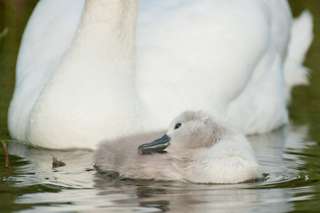 birdwatching: juvenile mute swan Stock Photo