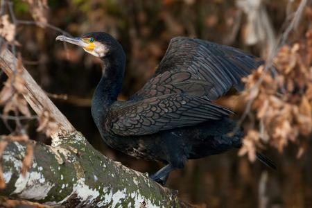 carbo: cormorant (Phalacrocorax carbo) Stock Photo