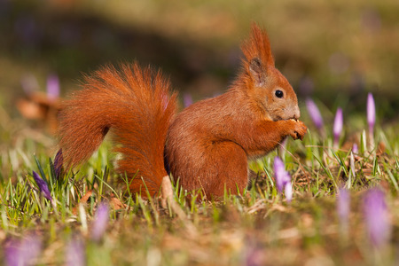 crocuses: squirrel sitting on a meadow with crocuses