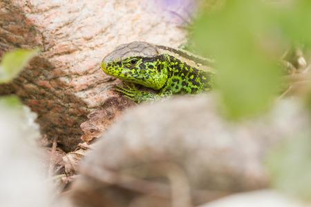 lacerta: sand lizard (Lacerta agilis) Stock Photo
