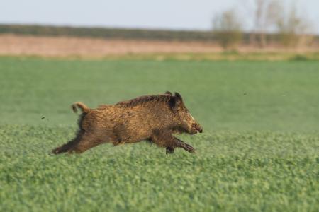 running wild boar