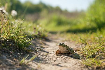 lessonae: green frog sitting on the ground Stock Photo