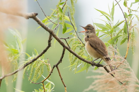 warbler: great reed warbler on a branch