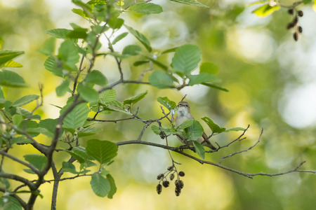 warbler: garden warbler Stock Photo