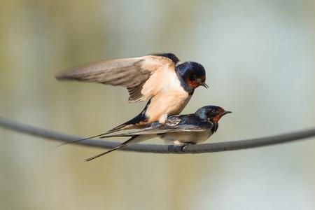 copulation: barn swallows copulation