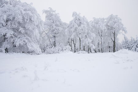 white winter: beeches in winter Stock Photo