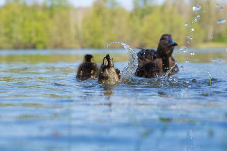 mallard ducklings swimming on a lake