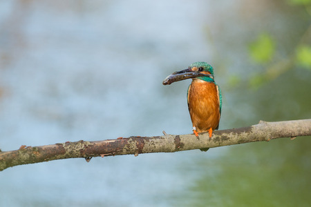 alcedo atthis: kingfisher with a catched fish on a branch Stock Photo