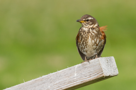 Redwing (Turdus iliacus) sitting  on a pole in Iceland