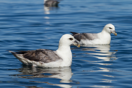 swimming fulmar  Stock Photo