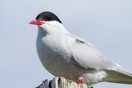 Portrait of an arctic tern