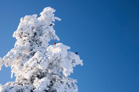 crossbill in teh wintertime