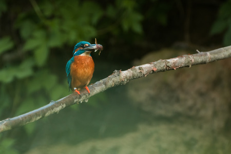 kingfisher with a catched fish on a branch Stock Photo