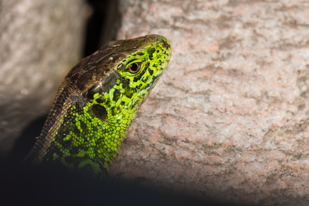 lacertidae: sand lizard (Lacerta agilis) Stock Photo