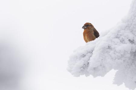 Crossbill (Loxia curvirosta) sitting on a tree in winter