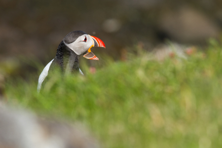 puffins: Atlantic puffin on a bird rock in Iceland