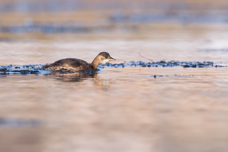 ice floe: Swimming dabchick on a river between ice floes Stock Photo