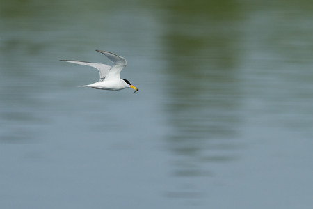 flying little tern with a catched fish Stock Photo