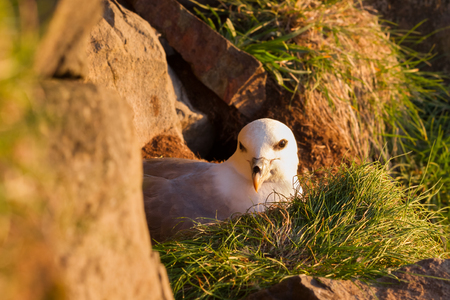 Breeding northern fulmar in Iceland at midnight