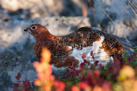 autumn colouring: willow grouse