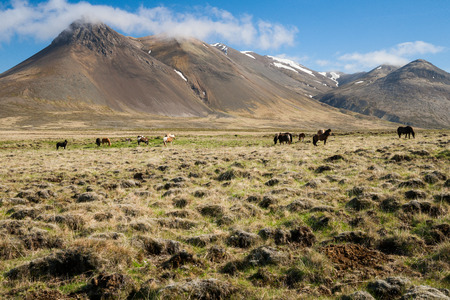 Icelandic horses in iceland Stock Photo