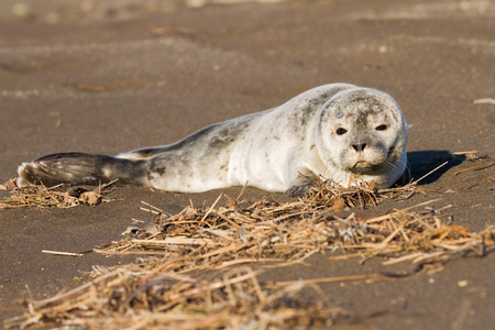 young common seal in iceland