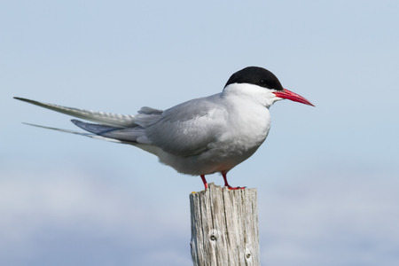 Arctic tern in Iceland sitting on a pole
