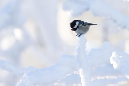 coal tit (Parus ater) in winter