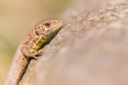 Sand lizard lying on a stone Stock Photo