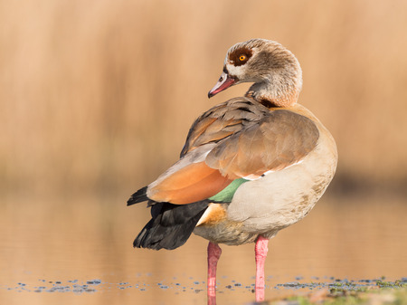 Egyptian goose (Alopochen aegyptiacus) Stock Photo