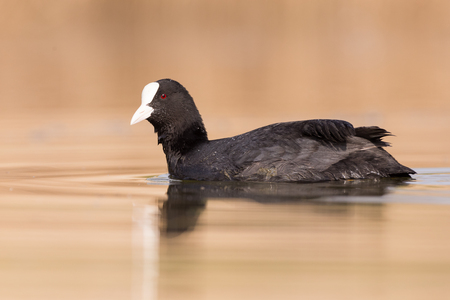 Swimming coot on a lake