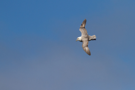 flying fulmar on faroe island