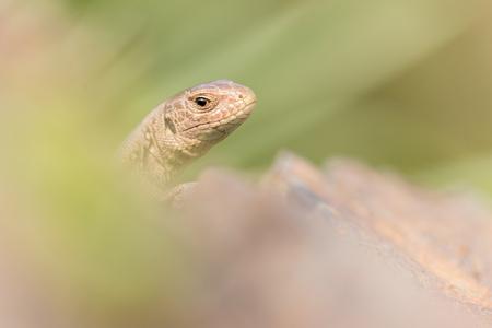 Sand lizard lying on a stone Stock Photo