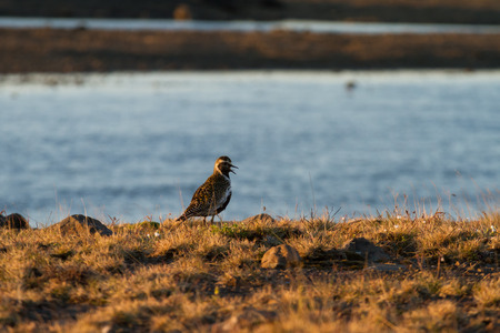 European golden plover at sunset
