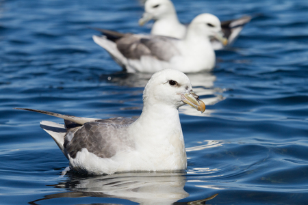 swimming fulmar